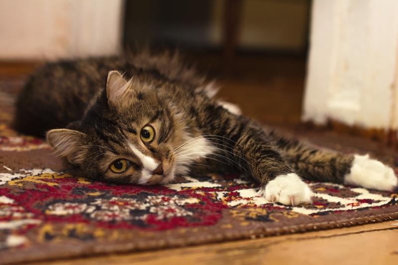 carpet cleaning cat on carpet